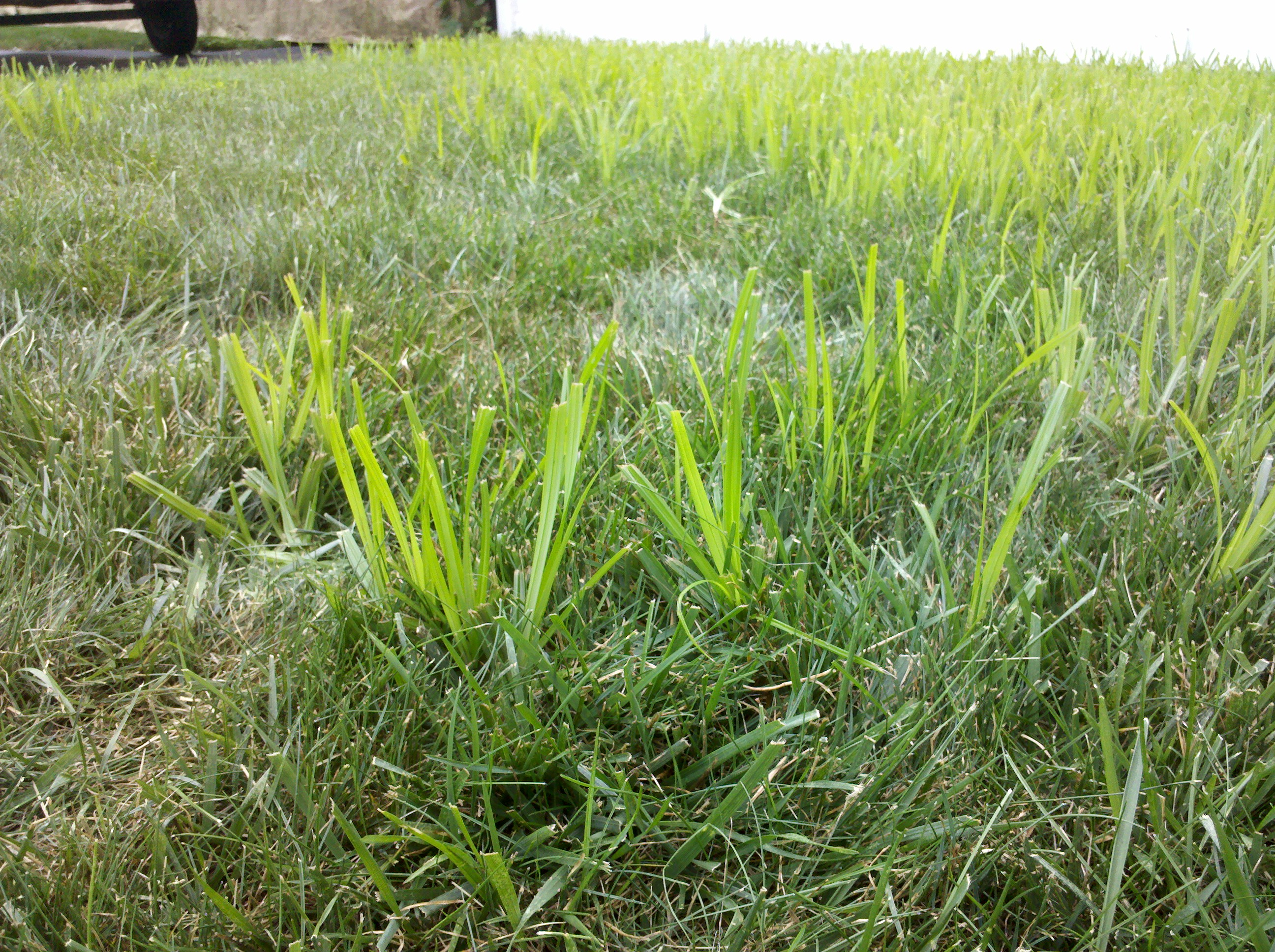 Help identifying grass weed for Fast growing tall grass